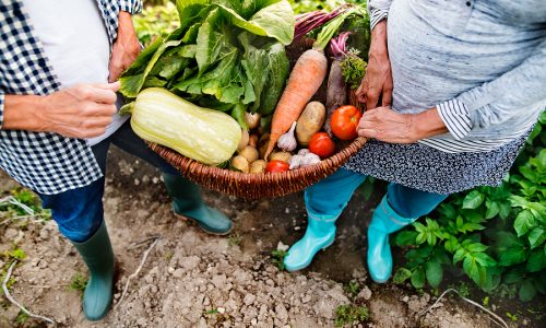Unrecognizable senior couple harvesting vegetables on allotment. Man and woman gardening.